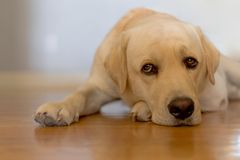 Sleepy dog. On a wooden floor Stock Photography