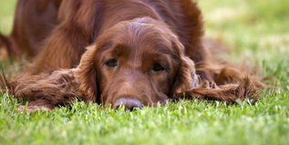 Sleepy dog banner Royalty Free Stock Photo