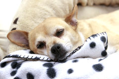 Sleepy Dog Royalty Free Stock Images
