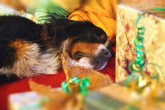 Sleepy dog with the Christmas gifts. In front Stock Photography