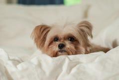 Sleepy Dog Royalty Free Stock Images