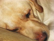Sleepy dog face Royalty Free Stock Photos