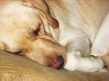 Sleepy dog face 3 Royalty Free Stock Image