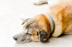 Sleepy dog. On the floor Royalty Free Stock Photo