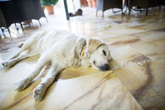 Sleepy dog Stock Photography