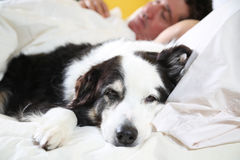 Sleepy dog with head on pillow Royalty Free Stock Images
