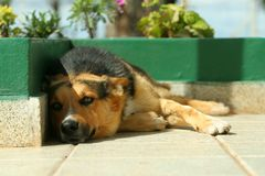 Sleepy dog II. A dog resting in a sunny afternoon royalty free stock images