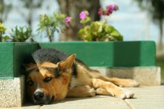 Sleepy dog II. A dog resting in a sunny afternoon stock photos