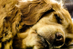 Sleepy dog laid down Royalty Free Stock Photography