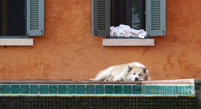 Sleepy dog laying down by the pool Royalty Free Stock Image