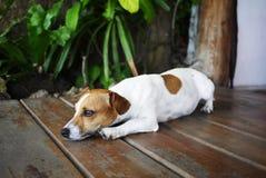 Sleepy dog Stock Photography