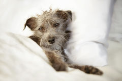 Sleepy Dog in Luxury Bed With Satin Sheets Stock Photos