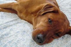 Sleepy Dog. Rhodesian Ridge Back Mix Resting Stock Images