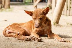 Sleepy dog. Skinny dog lie down on the ground under sunlight Royalty Free Stock Image
