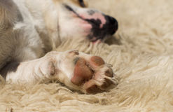 Sleepy dog. Dog in sleep with paw in first plan Royalty Free Stock Photography