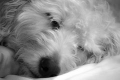 Sleepy Dog Royalty Free Stock Image