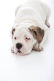 Sleepy dog trying to take a nap Royalty Free Stock Photo