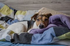 THE SLEEPY DOGGY. Lying on a blanket Stock Photography