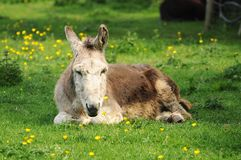 Sleepy donkey Royalty Free Stock Photos