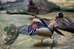 Sleepy Duck Royalty Free Stock Photo