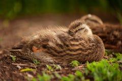 Sleepy Duckling stock photo