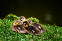 Sleepy Ducklings. Four sleepy ducklings huddle together on a grassy, green bank of a pond Stock Images