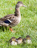 Sleepy Ducks. Three sleepy mallard ducklings snuggle up together in the grass while mother duck stands guard behind them Stock Images