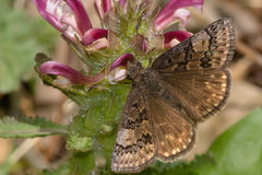 Sleepy Duskywing Butterfly Stock Photography
