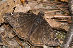Juvenals Duskywing Butterfly Royalty Free Stock Photo
