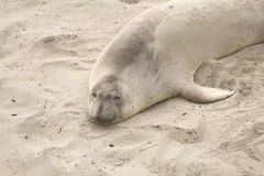 Sleepy Elephant Seal Royalty Free Stock Photos