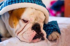 Sleepy English Bulldog. Cute sleepy male english bulldog in a blue fluffy shirt lying on the bed Royalty Free Stock Photo