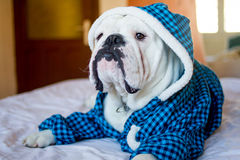 Sleepy English Bulldog. Cute sleepy male english bulldog in a blue fluffy shirt lying on the bed Royalty Free Stock Images