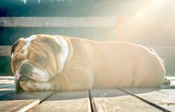 Sleepy English bulldog Royalty Free Stock Photos