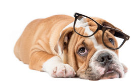 Sleepy English bulldog pup Royalty Free Stock Photos
