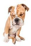 Sleepy English bulldog pup Royalty Free Stock Image