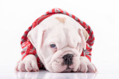 Sleepy English bulldog Royalty Free Stock Image