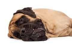 Sleepy English Mastiff