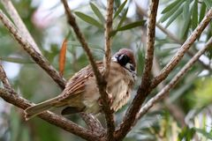 Sleepy Eurasian Tree Sparrow Royalty Free Stock Photography