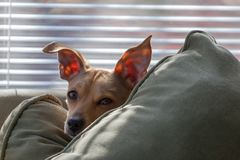 Sleepy Puppy Peeking Over Pillow. A sleepy eyed puppy with perky ears peeks over a pillow royalty free stock image