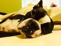 Sleepy Eyes. Sleepy Boston Terrier Stock Image