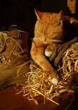 Sleepy Farm Cat Royalty Free Stock Photo