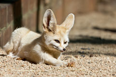 Sleepy Fennec. A sleepy Fennec, the smallest fox in the world Royalty Free Stock Photos