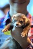 Sleepy Ferret closeup. The ferret serenely sleeps on human hands Stock Photography
