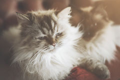 Sleepy fluffy cats Royalty Free Stock Images