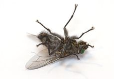 Sleepy fly (macro of insect) Royalty Free Stock Photos