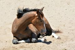 Sleepy foal Stock Images