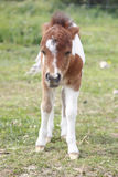 Sleepy Foal Royalty Free Stock Images
