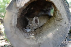 Sleepy Fox. Beautiful moment in the woods, sleepy Fox in his hideout Stock Image