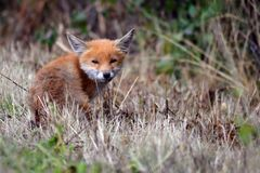 Sleepy fox sitting on the edge of the field. Stock Photo