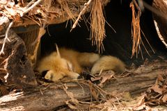 Sleepy Fox. A sleepy fox takes a nap at the Virginia Living Museum royalty free stock photography